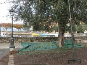 Olivenanabau